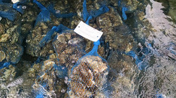 oysters in wet holding