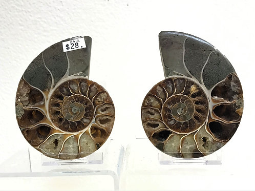 Fossil Ammonite Pair