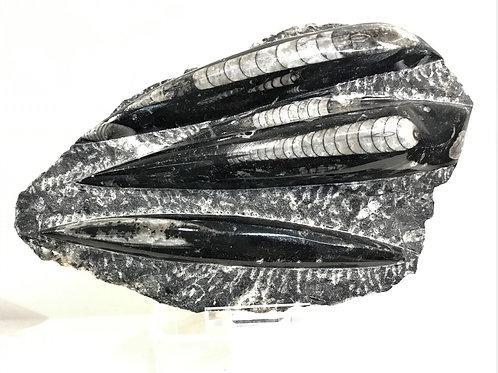 Fossil Nautiloids
