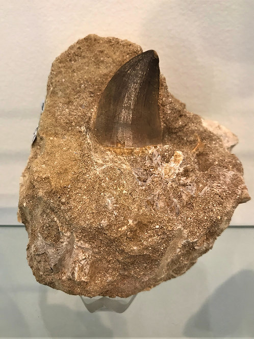 Fossil Mososaurus Tooth