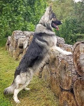 Lykos Stud dog.jpg