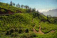 Plantation-de-thé-Inde.jpg
