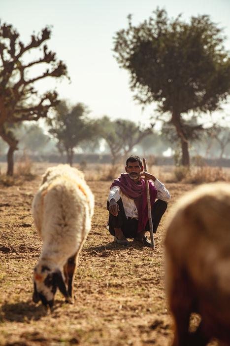 Indien-gardien-de-moutons-champ-desert.j