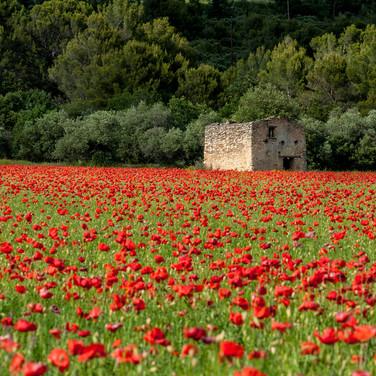 Vaucluse, Coquellicots en Juin