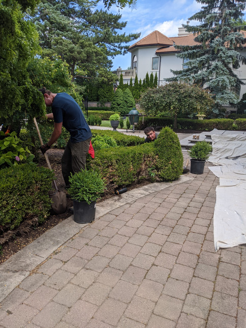 planting replacing boxwoods landscapers