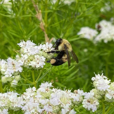 TAP:  Tribal Alliance for Pollinators