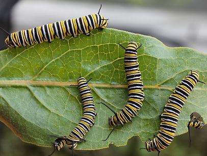 Monarchs of viridis leaf.jpg