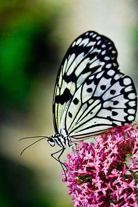 Butterfly-79.jpg