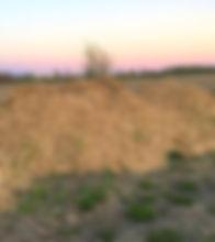 Saule à croissance rapide biomasse