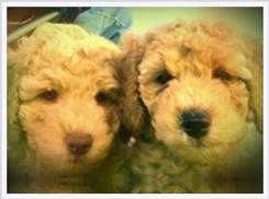 labradoodle puppies for sale, multigen, california, best breede