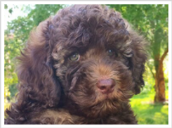 labradoodle puppies for sale, multigen, california, best breede