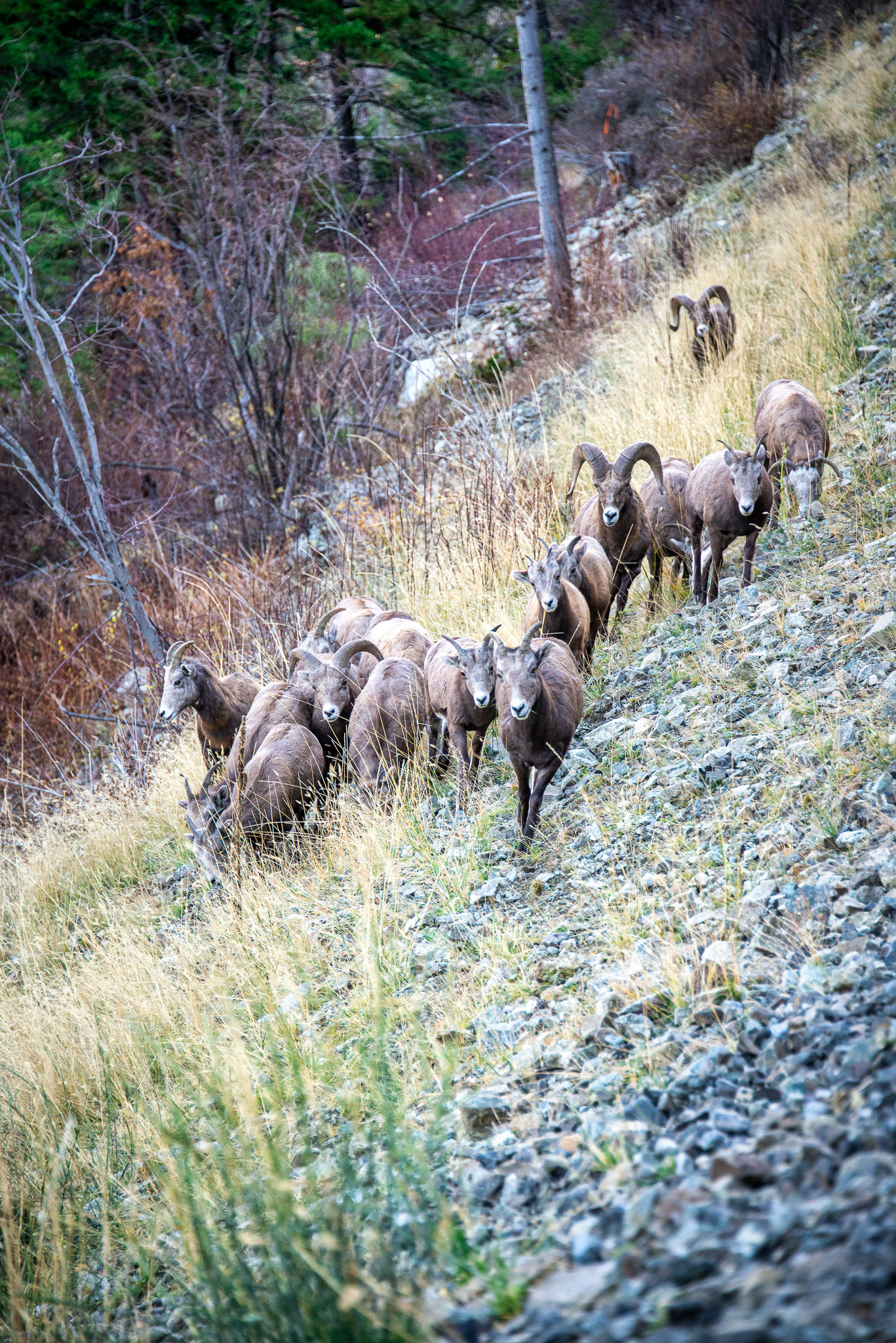 Herd of Big Horn Sheep