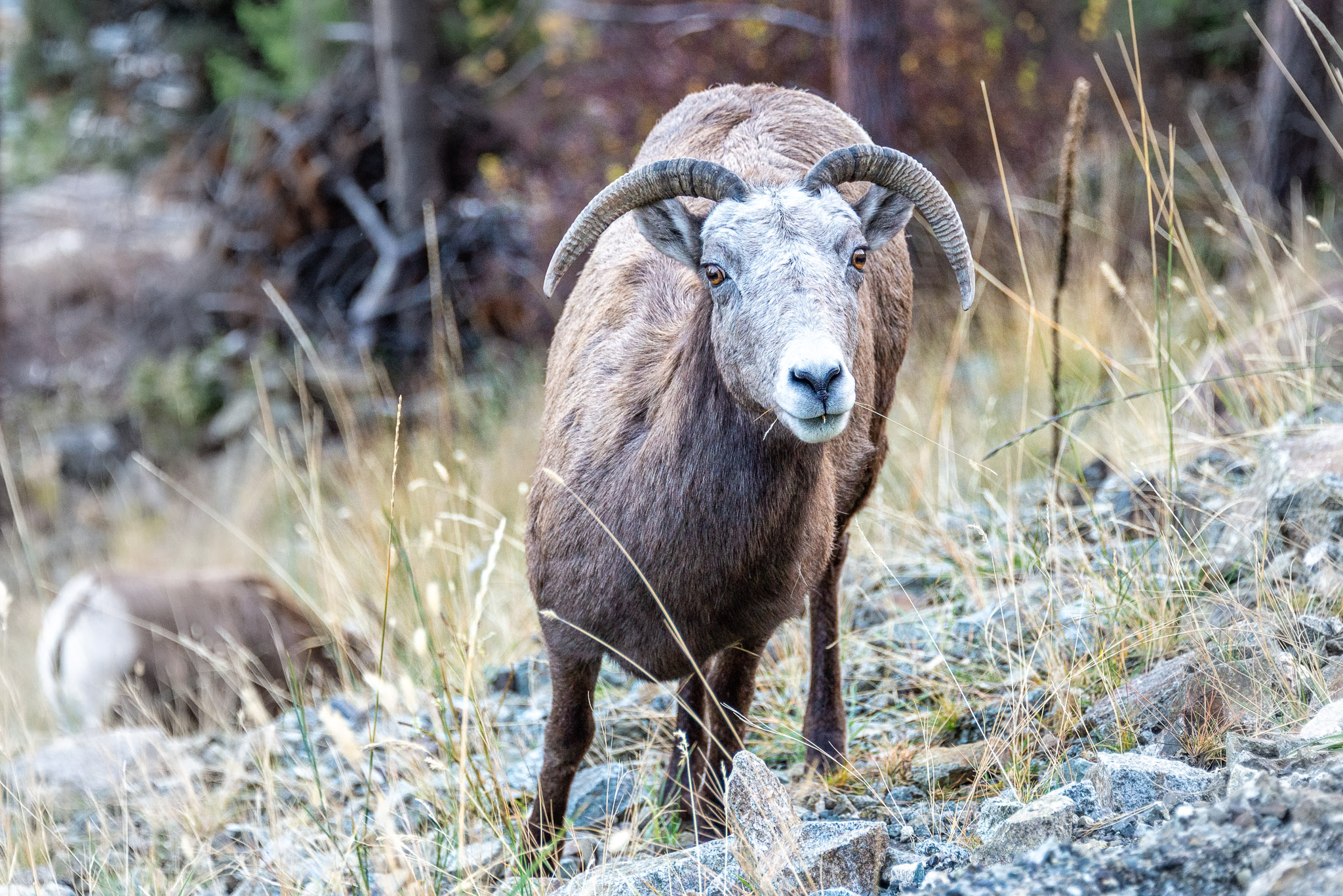 Curious Big Horn Sheep