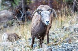 Curious Big Horn Sheep
