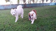 Cães bulldog e samoieda caminhando no gramado.