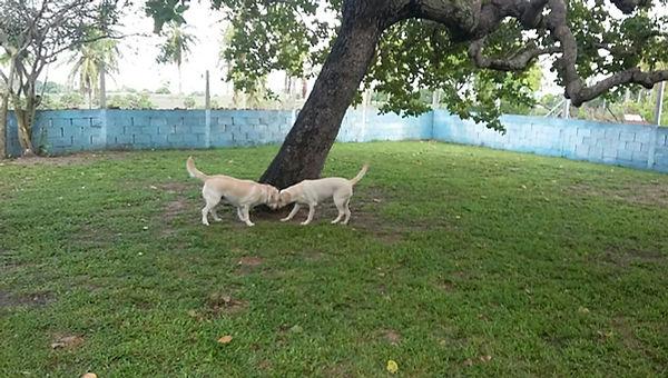 Cães labradores Marley e Mel brincando.
