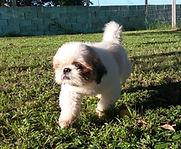 Pequeno cão lhasa caminhando no gramado.