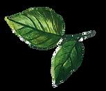листья4.png