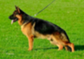 Yuma vom Fanino -Lebenshunger German Shepherds