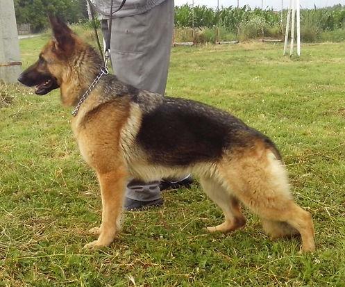 Anja Naissus Jewels - Lebenshunger German Shepherds
