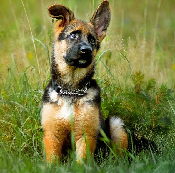 Lebenshunger German Shepherd puppy