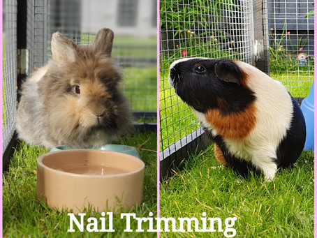 Rabbit & Guinea Pig Nail Trimming