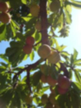 plums 2.jpg