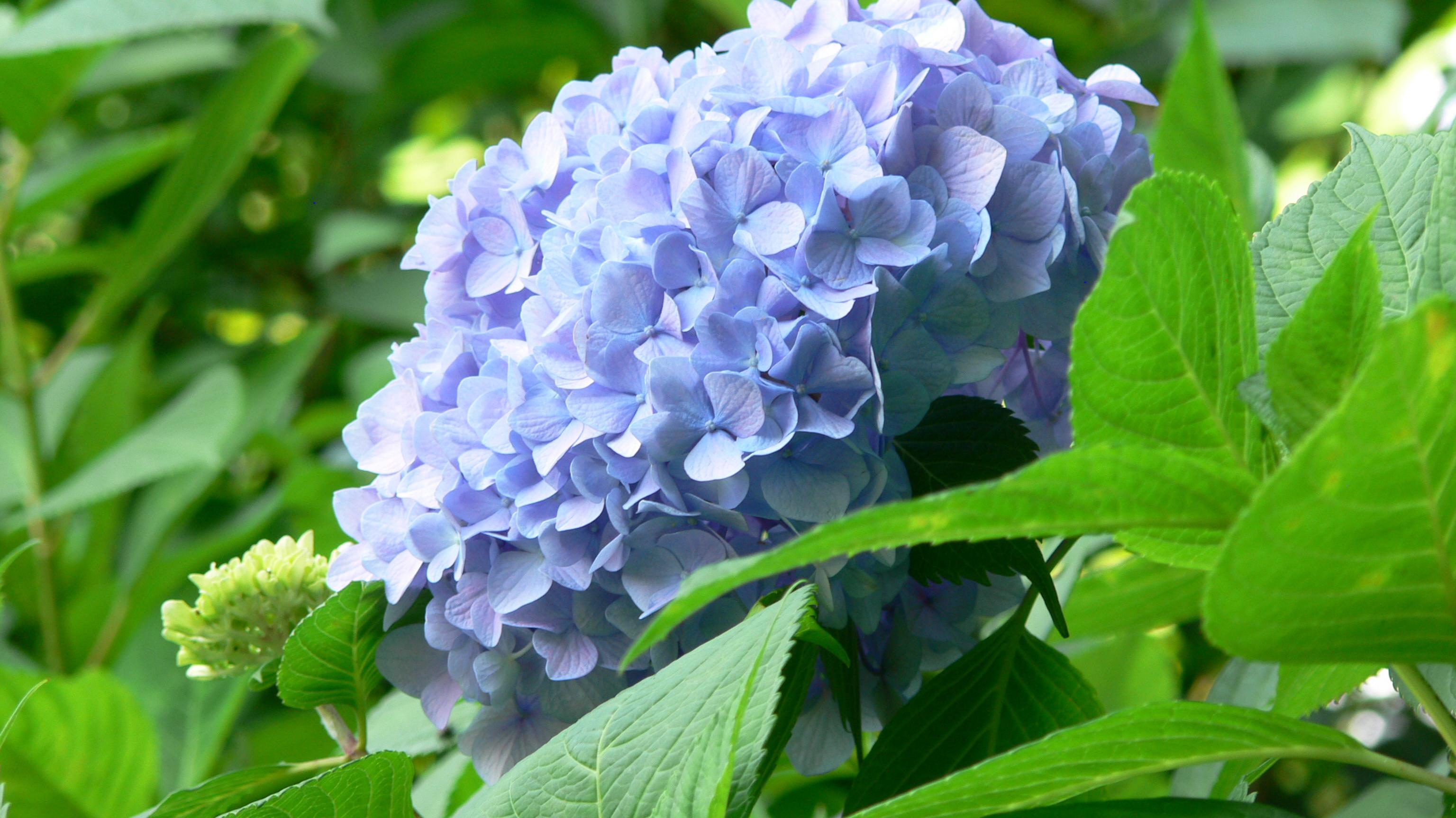 紫陽花②/吉備津神社/岡山市