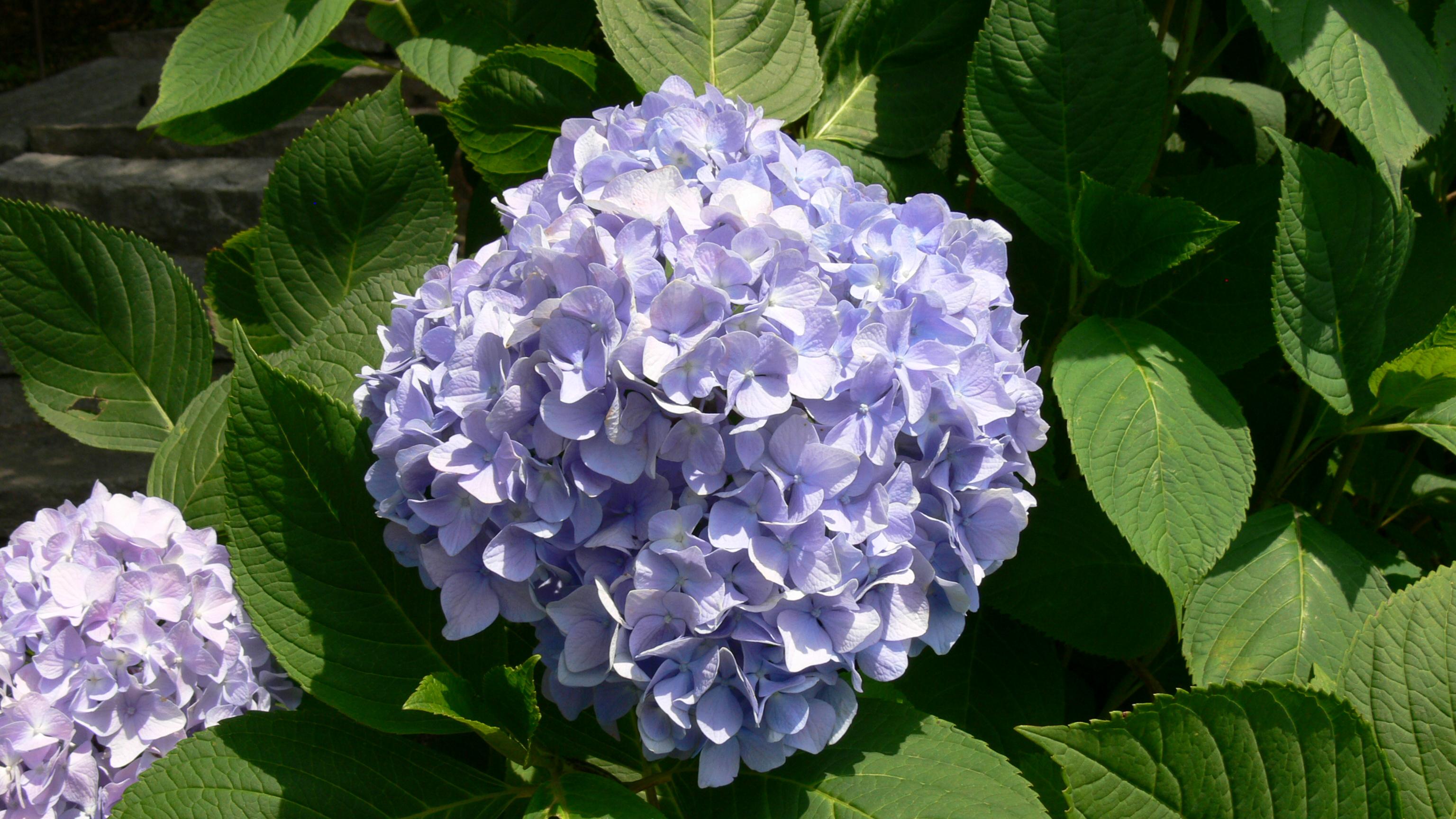 紫陽花⑤/吉備津神社/岡山市