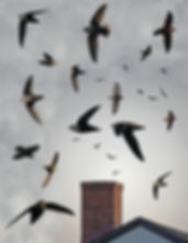 chimney swifts flying out a chimney