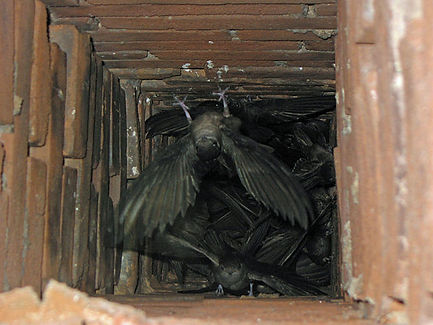 This picture shows chimney swifts, swift nests in a chimney
