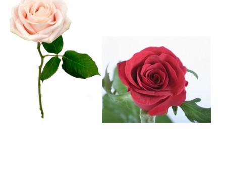 薔薇はやっぱりステキ🌹