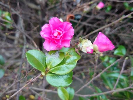 今週、府中のお寺さんに伺いましたが、サザンカの花がキレイに咲いていましたよ!