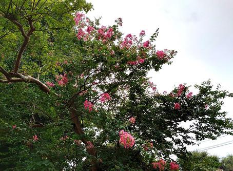 府中の生徒さんのお寺さんでは、サルスベリの花が綺麗に咲いていましたよ!弁天さまも、蓮の花がすっかり散っていましたので、近くのサルスベリの花が咲いて喜んでいるようでしたよ!