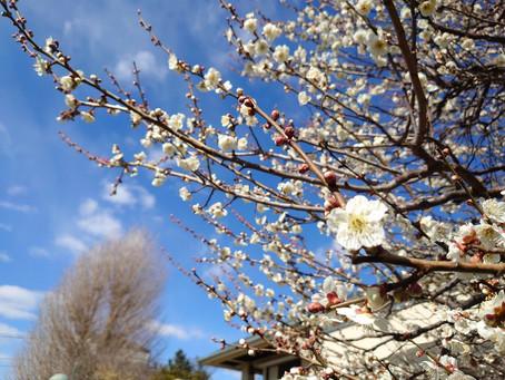 今週、お伺いしました府中の光明院さんでは、白梅が満開となり、甘い香りが境内に満ちていましたよ!緊急事態宣言下でも、確実に春は来ていますねぇ。。。良かった!