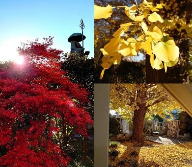 府中の生徒さんのお寺さんでは、銀杏と満天星ツツジの紅葉が見事でしたよ!天気も良く、ほっこり癒やされました!