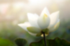White lotus flower or water lily. Royalt