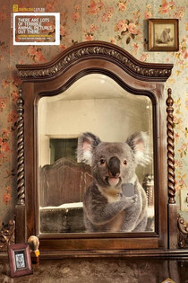 SAVE THE KOALA MONTH - FAKT 5: Australiens next top Koala