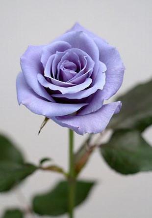En busca de la rosa azul. Flores genéticamente modificadas