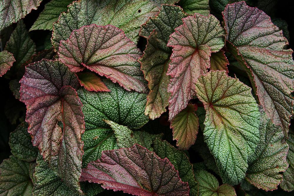 begonia hojas