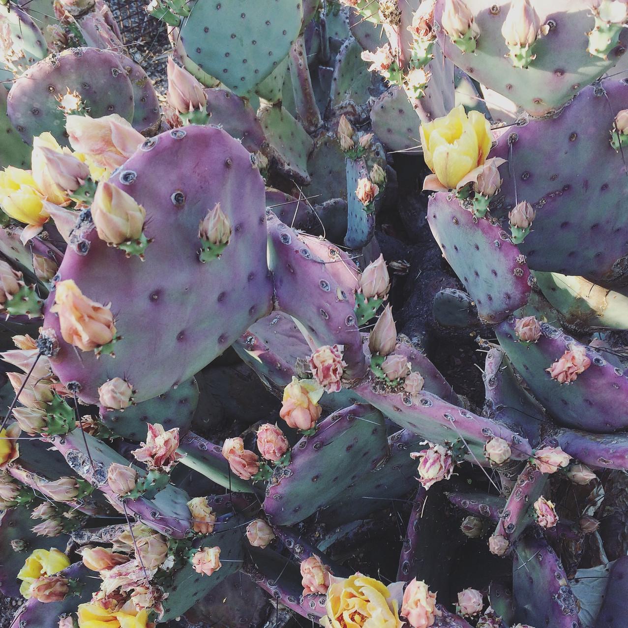 Opunta Violaciae, Prickly Pear