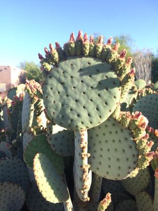Jardín Botánico Phoenix, Arizona EUA