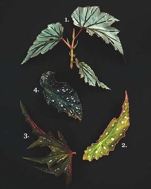 Hojas de begonia que parecen de otro mundo