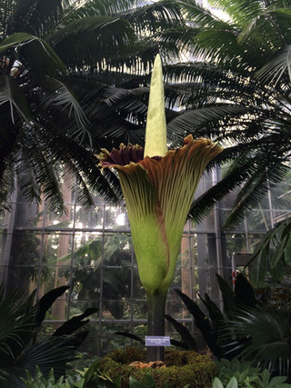 Flor cadaver (corpse plant, amorphophallus titanum)