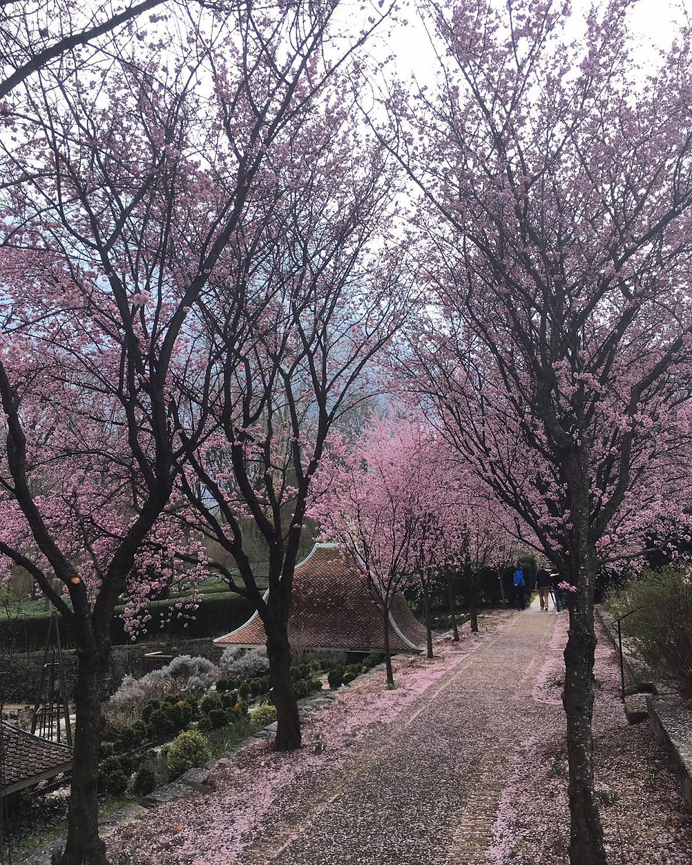 Dumbarton Oaks cherry blossoms Washington DC