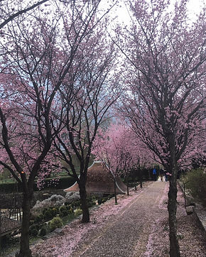 Cherry Blossoms And Magnolia Trees In Washington Dc Where To Watch