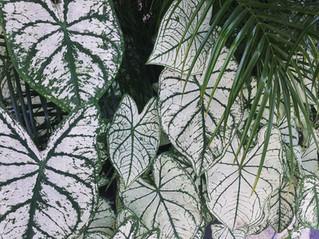 Las hojas de Caladium son nuestras consentidas