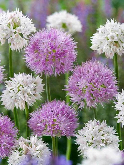 Fluffy Dreams Mixed Allium