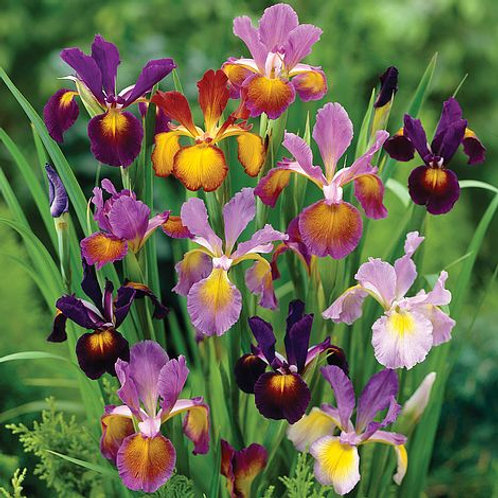 Metallic Dutch Mixed Iris's