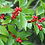Thumbnail: Holly - Winterberry